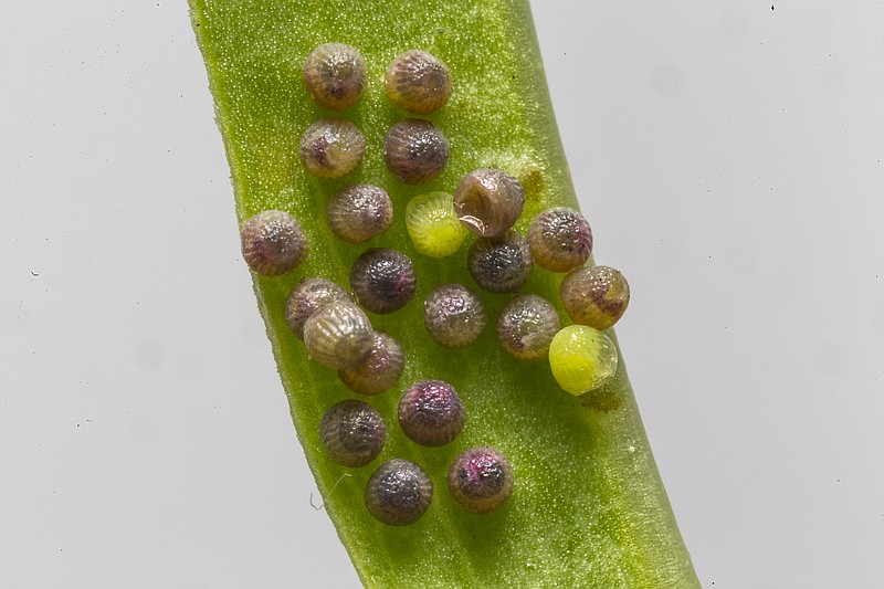 Eggs of a Quino checkerspot butterfly are shown in this photo.