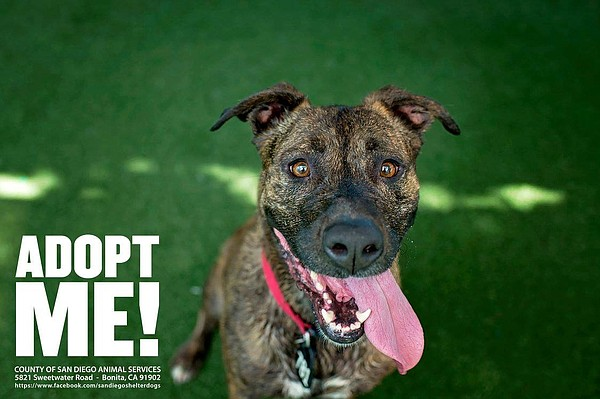 A Pit Bull named Macky is advertised for adoption by San ...