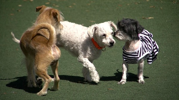 Dogs play in the yard at the San Diego Humane Society, Ap...