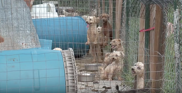 Dogs in a puppy mill are shown in this undated photo.