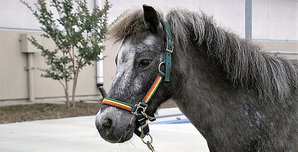 Rootbeer, the miniature horse, is shown outside of Vista'...