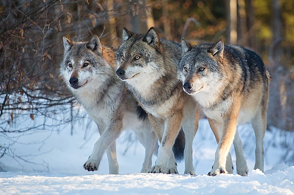 Three wolves marching together, Yellowstone National Park.
