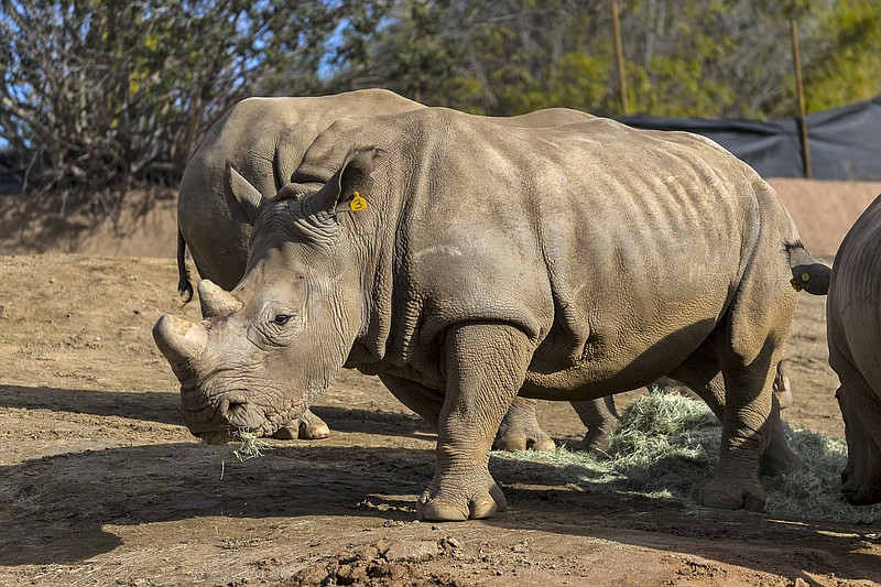 A San Diego Zoo southern white rhinoceros is shown in this undated photo.