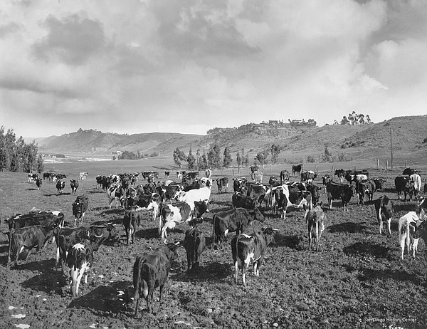 Dairy cows graze in Mission Valley when it was farmland i...