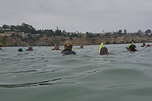 Increasing Number Of Leopard Sharks Off La Jolla Attracts Snorkelers, Scientists