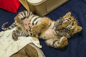 Tiger Cub Intercepted At Otay Border Is Healthy