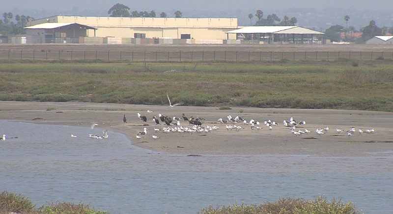 Birds gather to feed in the Tijuana River Estuary on Sept. 5, 2017.