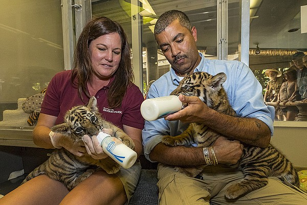A Sumatran tiger cub and a Bengal tiger cub are fed at th...