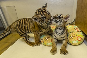 Sumatran Tiger Cub From National Zoo Joins Bengal Tiger Cub Discovered At Border