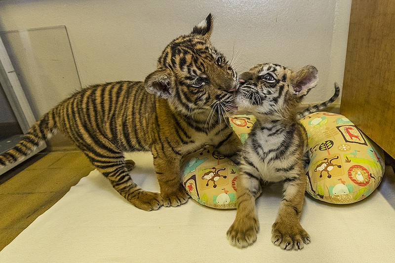 Bengal and Sumatran tiger cubs play at the San Diego Zoo Safari Park, Sept. 1...