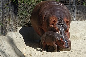 It's A Boy! Safari Park Says Hippo Born Last Month Is Male