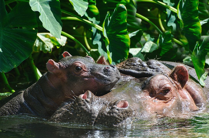 A newborn hippo and its mother are on exhibit at the San Diego Zoo in this un...