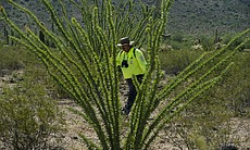 Ely Ortiz, founder and leader of Aguilas Del Desierto, walks between Ocotillo...
