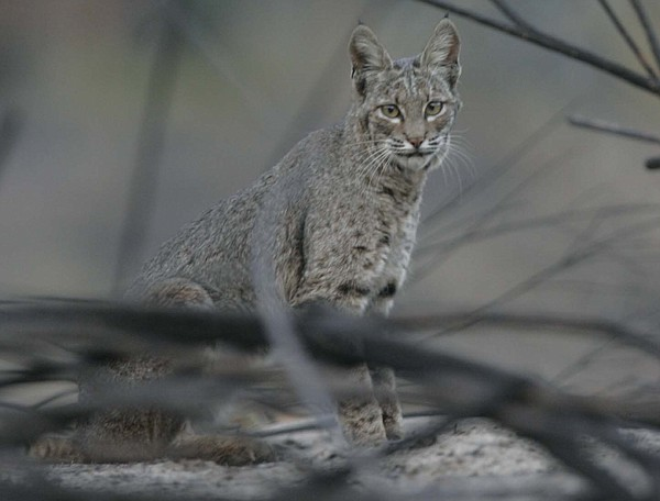 Bobcat injured during the 2007 Harris Fire while walks in...