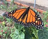 Encinitas Farm Teaches Students About Threatened Monarch ...