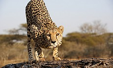 The mother cheetah on a fallen tree trunk, Mali...