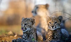 Two young cheetah cubs lie in the shade while t...