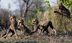 Four young cheetahs play, Malilangwe Wildlife R...