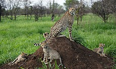 The mother cheetah sits on a termite mound surr...