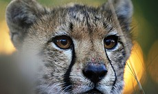 Portrait of a young cheetah cub, Malilangwe Wil...