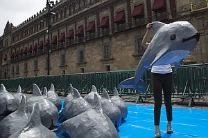 Calls For End To Mexico's Capture Of Endangered Porpoise