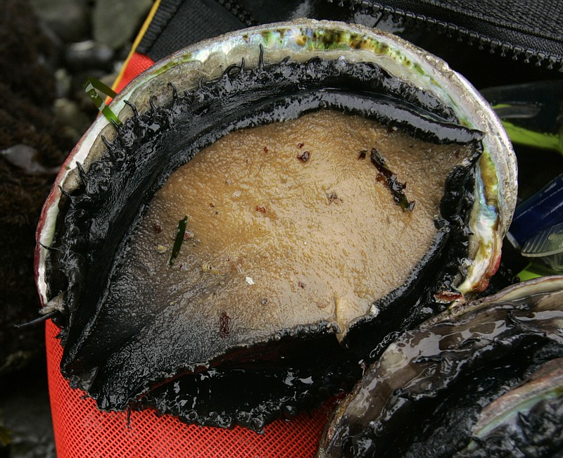 File photo, an abalone picked by a diver is seen on its back in Fort Ross, Ca...