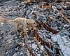 Searching For Ashes Within Ashes — Dog Teams Hunt For Human Cremain...
