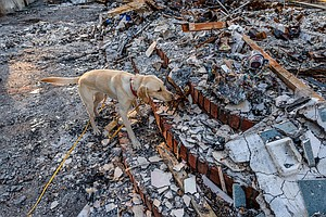 Searching For Ashes Within Ashes — Dog Teams Hunt For Hum...