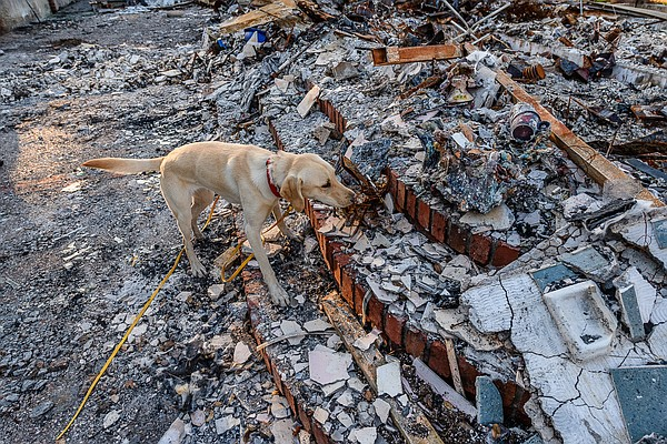 Echo, an English Labrador, narrows down the search for th...