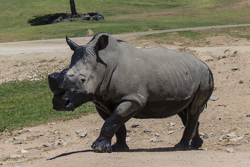 Chuck, a southern white rhino, is shown at the San Diego Zoo in this undated ...