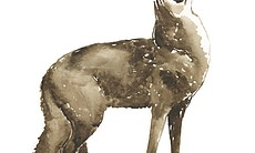 """Obi Kaufmann painted this coyote for his book """"... (114655)"""