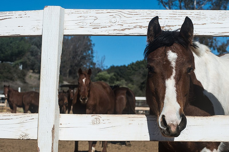 A horse on HiCaliber Horse Rescue's ranch in Valley Center, March 2, 2018.