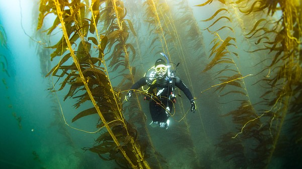 Scripps Oceanography researcher Camille Pagniello dives t...