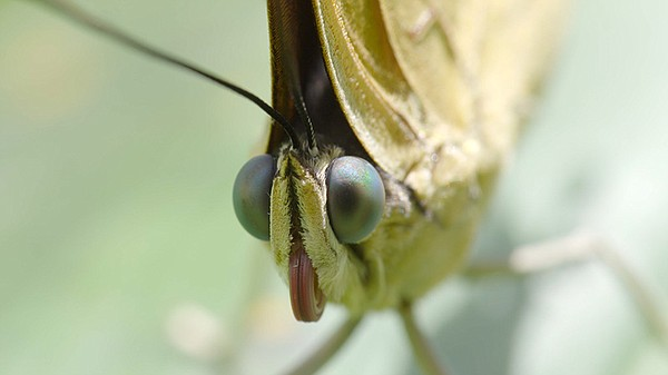 A butterfly's eyes and coiled-up proboscis, the insect's ...