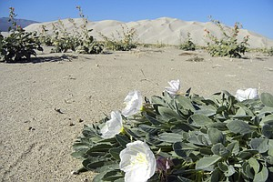Rare Death Valley Wildflower No Longer Endangered