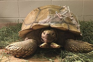 California Tortoise With Cracked Shell Gets $4,000 Repair