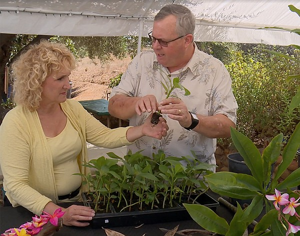 Host Nan Sterman discusses how plumeria grow with expert ...