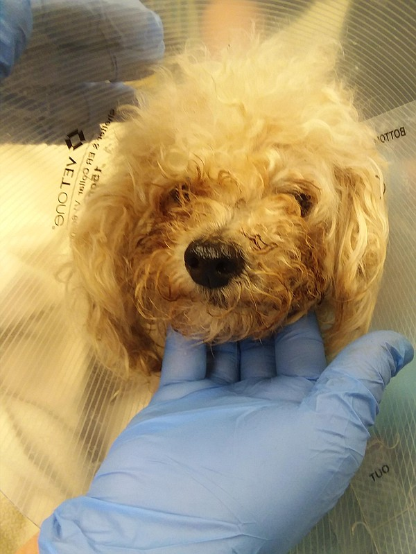 A photo of the abandoned poodle in Escondido is shown in...