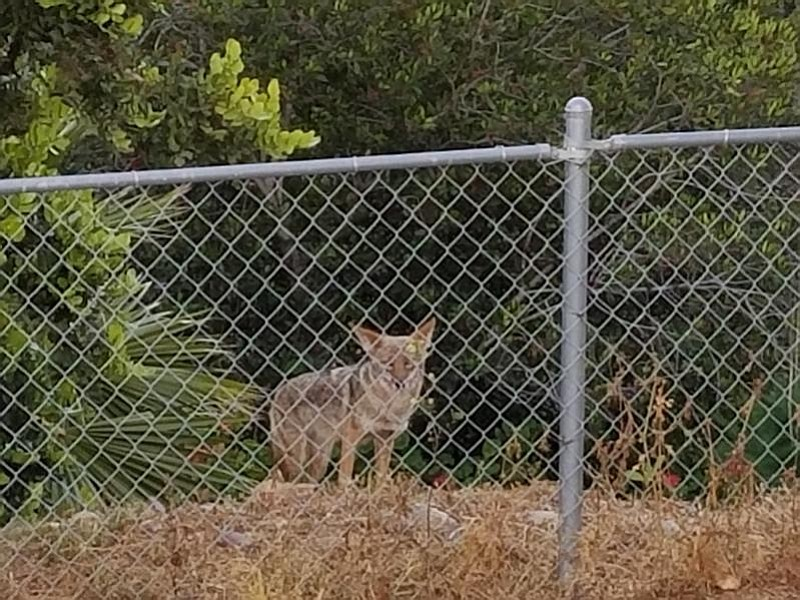 A coyote photographed by San Diego resident Dav...