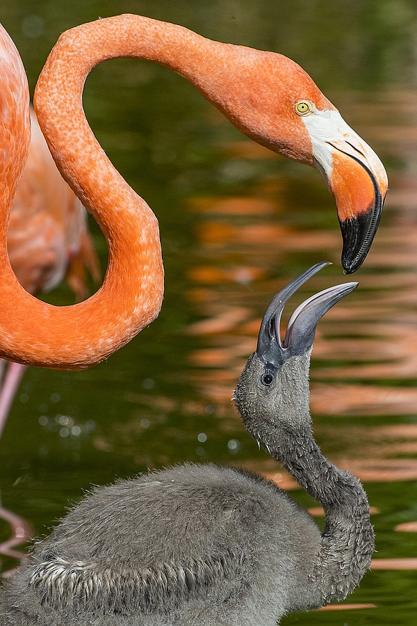 A flamingo interacts with a flamingo chick at the San Die...