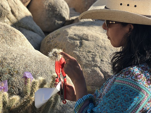 Lluvia Flores-Renteria inspects a dried cholla fruit, Aug...