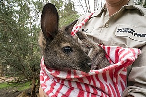 Wallaby Joeys Settling Into New Zoo Habitat