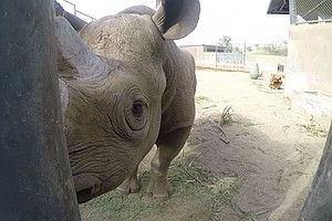 Rhino Born And Bred In San Diego Now Living In Africa