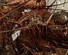 Spiny lobsters sit inside of a crate at Apex Wi...