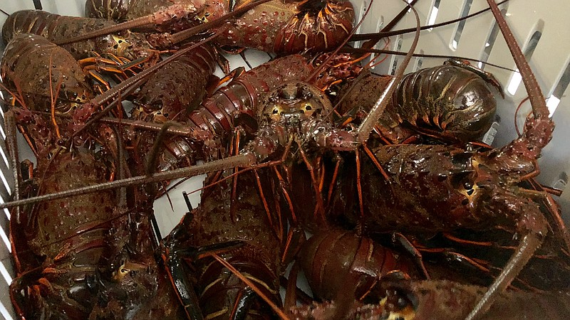 Spiny lobsters sit inside of a crate at Apex Wild Seafood in San Diego, Oct. ...