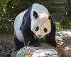 Giant panda Gao Gao is pictured in this undated...