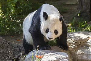 San Diego Zoo Bids Farewell To Giant Panda Gao Gao