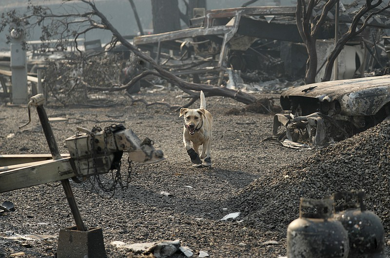 A search and rescue dog searches for human remains at the Camp Fire, in Parad...