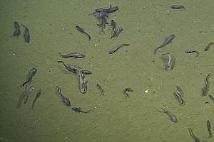 San Diego Biologist Finds Fish Living In Extremely Low Ox...