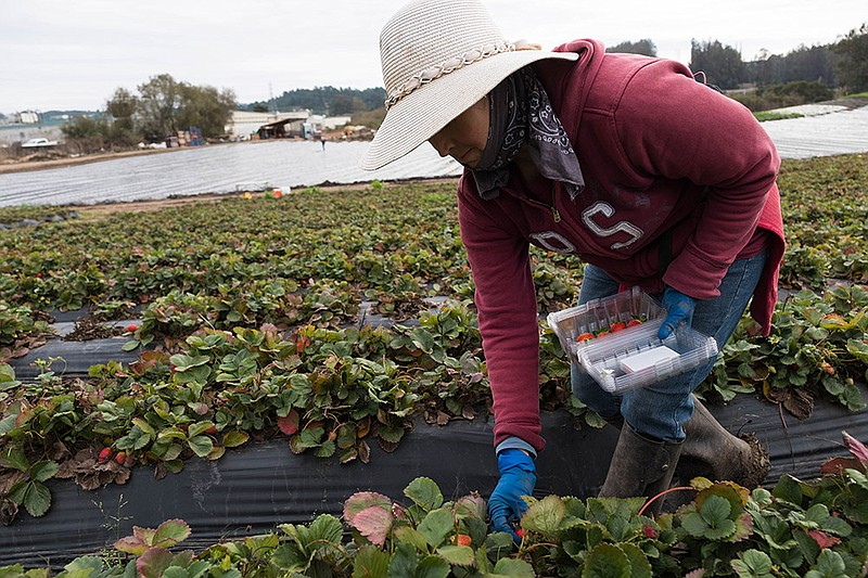 A worker picks strawberries on Bertha Magaña's farm in Prunedale.